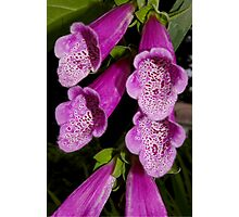 hot pink foxglove Photographic Print