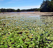 Lilly Pad: Harold Parker State Park in  Lawrence, Mass. by john forrant