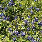 Bluebonnets by marilittlebird