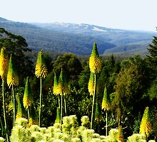 Kniphofia - Blue Mountains Botanic Gardens by Marilyn Harris