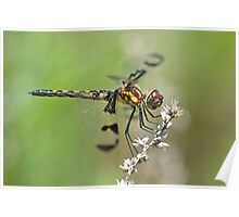Gorgeous Female Calico Pennant. Poster