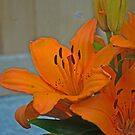 Orange lily. by naranzaria