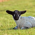 Spring Lamb by Astrid Ewing Photography