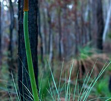 Grass Tree (Xanthorrhoea) by Jordan Miscamble