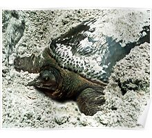 Nesting Softshell Turtle #1. Poster