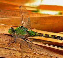 Great Pondhawk. by chris kusik