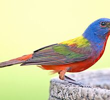 Painted Bunting in my Back Yard by Bonnie T.  Barry