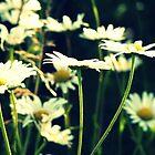 Daisy by Kim Slater