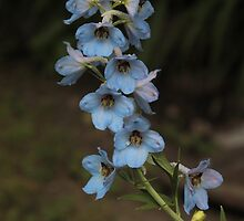 Blue Delphinium by Stephen Thomas