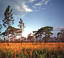 Sand Pine & Palmetto. Three Lakes W.M.A. by chris kusik