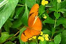 Dryas Julia by Ron Russell