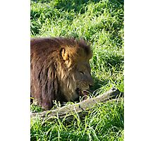 Lions Do Eat Meat Photographic Print