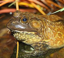 American Bullfrog Closeup and Personal by Carole-Anne
