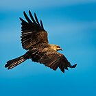Whistling Kite revisited by Chris  Randall