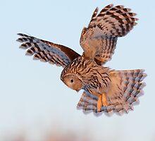 Ural Owl in flight by Remo Savisaar