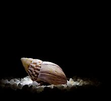Sea Shell in Spotlight by Riaan Roux