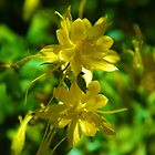 yellow columbine by thvisions
