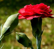 Backyard Blooms - Dianthus by ctheworld