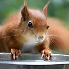 Red Squirrel 2 by Christopher Lloyd