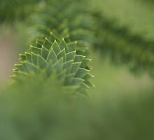 Monkey Puzzle by seadrift