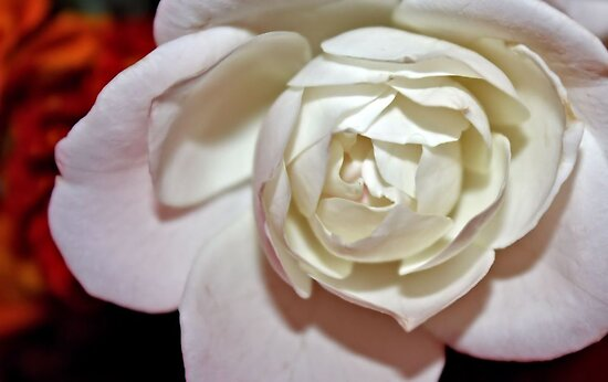 Rose White by aprilann