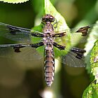 Female White-tailed Skimmer by William Brennan