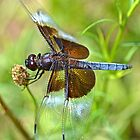 Blue Widow Skimmer by William Brennan