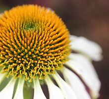 White Coneflower by aprilann