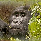kanyonyi the gorilla in hdr by gruntpig