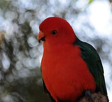 Male Australian King Parrot by petejsmith