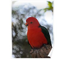 Male Australian King Parrot Poster