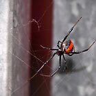 Redback Spider by Ginter