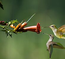 Trumpet Vine and Hummers by imagetj