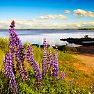 Lupins  by ilpo laurila