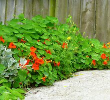 The Beauty Of Nasturtiums by Fara