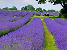 Mayfield Lavender Fields 1 by Colin J Williams Photography