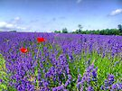 Mayfield Lavender Fields 3 by Colin J Williams Photography