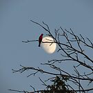 Cardinal and the Moon. by ChuckBuckner