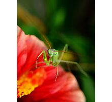 paying mantis on red flower Photographic Print