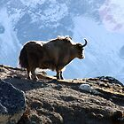 Lonely Yak by Dr Kev Robinson