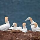 Gannets by Margaret S Sweeny