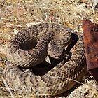 Common Rattle Snake by SB  Sullivan