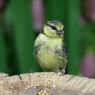 Juvenile Blue tit by Peter Wiggerman