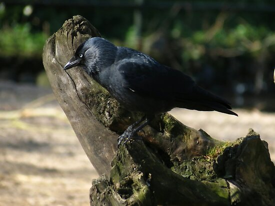 Jackdaw looking for .... by Peter Wiggerman