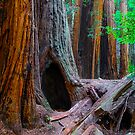 Giant Redwoods by Radek Hofman