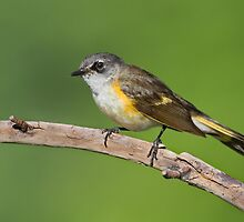 First Summer Male American Redstart. by Daniel Cadieux