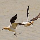 Fighting Avocets by Don Marshall