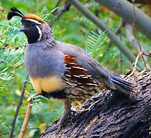 King Quail by George Lenz