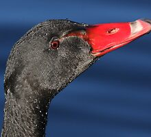 Black Swan Portrait 3 by Phillip Weyers