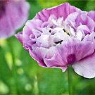 Double Purple Poppy by Astrid Ewing Photography